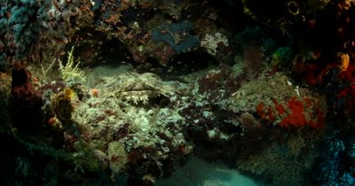 View of the face of a Tassled Wobbegong Shark, Eucrossorhinus dasypogon hiding on a coral block