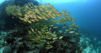 A large school of Bluelined Snapper fish,Lutjanus kasmira swirl in the ocean