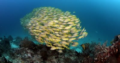 A large school of Bluelined Snapper fish,Lutjanus kasmira swirl in the ocean in a bait ball formation