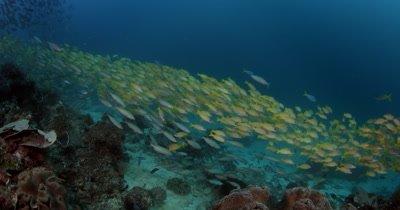 A large school of Bluelined Snapper fish,Lutjanus kasmira and Scissor-Tailed Fusilier s, Caesio caerulaurea swirl in the ocean