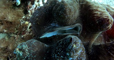 Close up shot of the openings of a huge Giant clam,Tridacna gigas