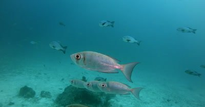 Six silver fish,Crescent-Tail Bigeye (Google-Eye), Priacanthus hamrur float in front of the camera