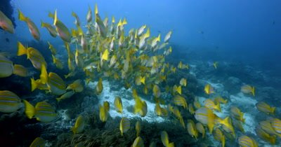 Close up of a large school of Bluelined Snapper fish, Lutjanus kasmira