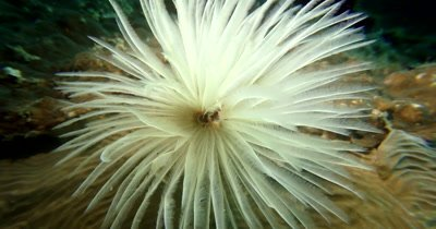 Close up of a delicate white Feather Duster Worm, Bispira sp2 feeding in the ocean