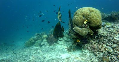 Three Batfish,Platax sp swim infront of a large Brain coral