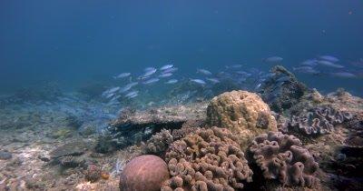 A school of Goldband Fusilier fish, Pterocaesio chrysozona glide over the reef