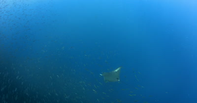 A Devil Ray (Chilean Mobula), Mobula tarapacana swims through a large bait ball of Anchovies, Stolephorus indicus