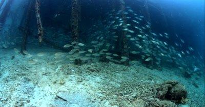 Huge schools of Scissor-Tailed Fusilier, Caesio caerulaurea swirl over the ocean floor.