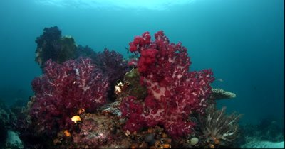 A pan from brightly colored pink and deep red coloured soft corals to a Tassled Wobbegong Shark, Eucrossorhinus dasypogon lying under a coral block