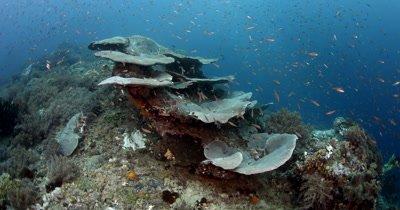 A school of peach coloured Anthias fish, Pseudanthias sp swarm over Solid Table Coral, Acropora clathrata
