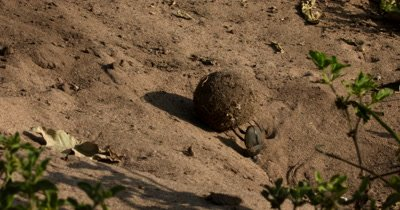 A wide shot of a Dung Beatle, Scarabaeinae sp rolls its ball, of elephant dung, up a hill using its hinds legs, while its face drags in the sand