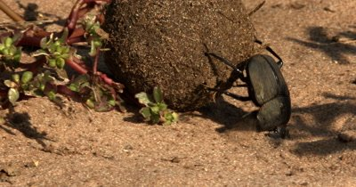 A close up shot of a Dung Beatle, Scarabaeinae sp rolls its ball, of elephant dung, up a hill using its hinds legs, while its face drags in the sand