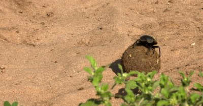 A wide shot of a Dung Beatle, Scarabaeinae sp positioning itself onto of the ball of dung to see where it must navigate its movement before commencing to maneuver around greenery.