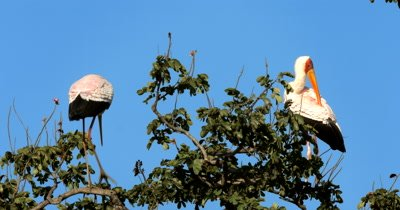 Two elegant White Storks,Ciconia ciconia perched high up in a tree do abit of grooming