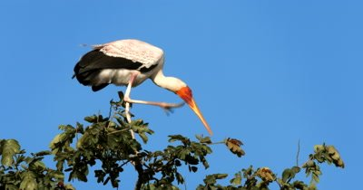 An elegant White Storks,Ciconia ciconia perched high up in a tree scratches its beak with its foot