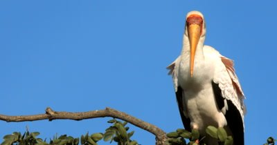 A close up shot of an elegant White Storks,Ciconia ciconia perched high up in a tree