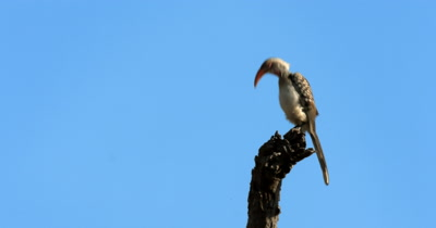 A Southern Red-billed Hornbill, Tockus rufirostris bobbing its heads up and down