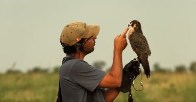 A Falconer handler feeds its trained Peregrine falcon,Falco peregrinus a treat (a dead Quail) after its flight over agricultural land, chasing Quelea birds that destroy crops.