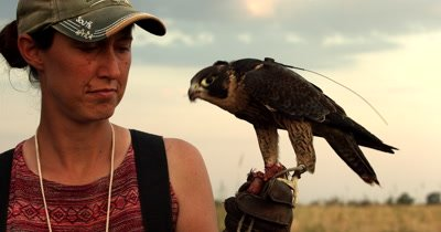 A Falconer handler feeds its trained Peregrine falcon,Falco peregrinus a treat (a dead Quail) after its flight over agricultural land, chasing Quelea birds that destroy crops. The bird has a transmitter fitted to its back