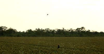 A Falconer handler calling its trained Falcon,Falco sp with a whistle and a swinging tennis ball  to swoop over the Sorgum fields until it lands on the ground infront of her on the tennis ball .
