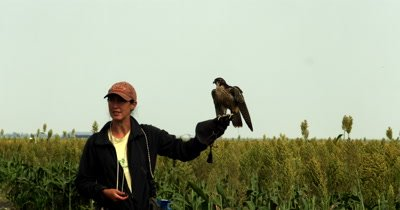 A Falconer handler releasing its trained Falcon,Falco sp to fly over Sorgum fields