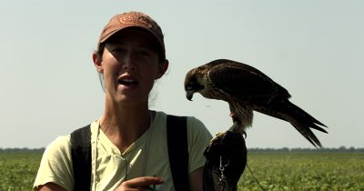 A Falconer handler gently placing a Hood/head cover on its trained Falcon,Falco