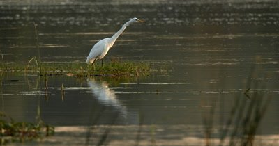A Heron,Eastern Great Egret,Ardea alba modesta, patiently waits for food to come by and catch