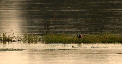 An African jacana bird, Actophilornis africanus wades through the reads bank on the Chobe river eating insects