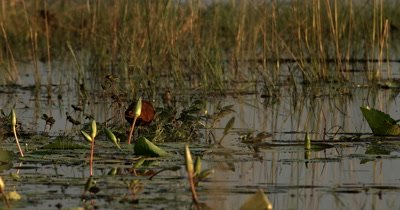 An African jacana bird, Actophilornis africanus wades through the reads bank and lilies on the Chobe river eating insects