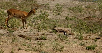 A Lechwe antelope,Kobus leche passes by