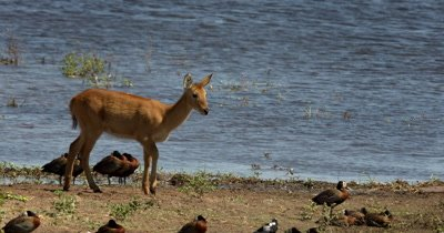 A Lechwe antelope,Kobus leche in front of the river