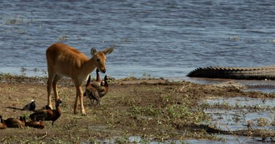 A Lechwe antelope,Kobus leche carefully moves away from a crockodile