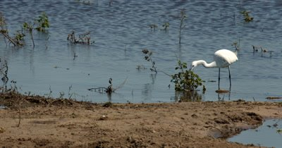 A White Heron/Eastern Great Egret,Ardea alba modesta, using its foot to  hunt, hunting, predation,  for food