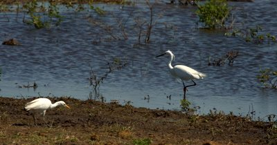 Two White Heron/Eastern Great Egret,Ardea alba modesta