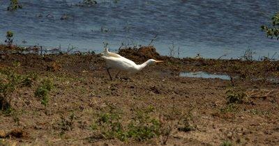 A White Heron/Eastern Great Egret,Ardea alba modesta,  hunt, hunting, predation, ing for food near the Rivers edge