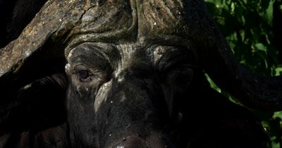 Extreme Close up of the eyes an African buffalo/Cape buffalo, Syncerus caffer flicking its ears to move the flies away