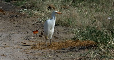 A White Heron/Eastern Great Egret,Ardea alba modesta,  hunt, hunting, predation, ing for food in Elephant dung find a butterfly