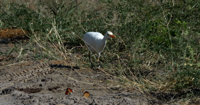 A White Heron/Eastern Great Egret,Ardea alba modesta,  hunt, hunting, predation, ing for food in Elephant dung catches a butterfly
