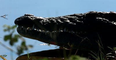 Extreme close up of the face,jaws and teeth of a Nile crocodile, Crocodylus niloticus
