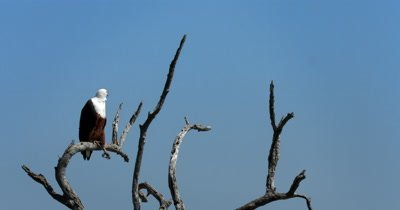 An African Fish Eagle,Haliaeetus vocife on a branch of a tree