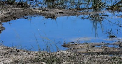 A Monitor Lizard, Varanus exanthematicus searching for food with its forked blue tongue at Chobe River