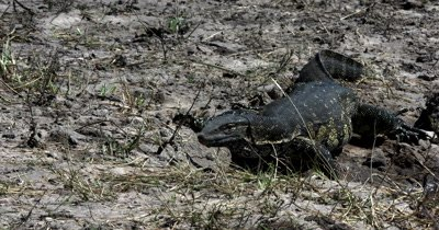 A Monitor Lizard, Varanus exanthematicus crawling through the river bank, searching for food with its forked blue tongue