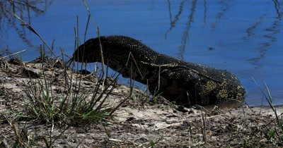 A Monitor Lizard, Varanus exanthematicus crawls out of the Chobe River,  searching for food with its forked blue tongue at the rivers edge