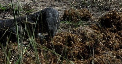 Head and shoulders of a  Monitor Lizard, Varanus exanthematicus scratching/searching for food  through Elephant dung with its powerful claw