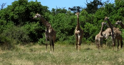 A large heard of Giraffe, Giraffa including a Juvenile are joined by four Zebra,Equus quagga burchellii)
