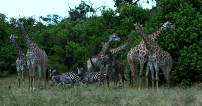 A large heard of Giraffe, Giraffa and four Zebra,Equus quagga burchellii)