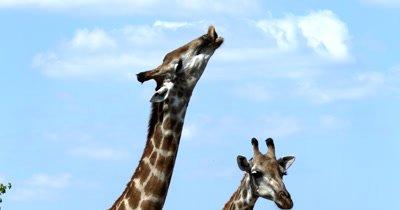 A Giraffe, Giraffa calls out to its heard bearing its teeth