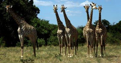 Full body shot of a  large heard of Giraffe, Giraffa chewing and staring right at the camera