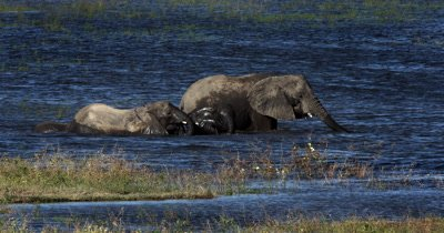 A herd of African Elephant,Loxodonta africana including a baby and a juvenile swim across the Chobe river