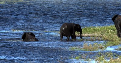 A Juvenile  African Elephant,Loxodonta africana frolics in the river and then joins the family on the river bank